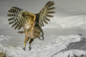 毛腿鱼鸮叼鱼飞