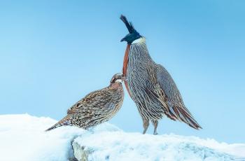 白雪皑皑情谊深(勺鸡)《荣获每日一图》