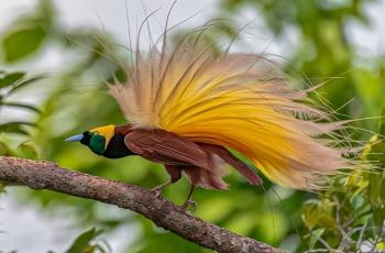 大极乐鸟跳求偶舞---祝贺佳作荣获每日一图