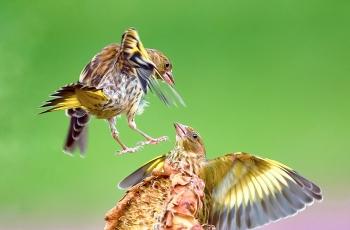 欢腾的金翅雀