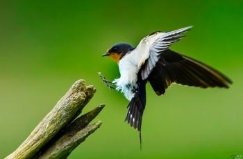 利奇马台风过后去拍鸟——燕子