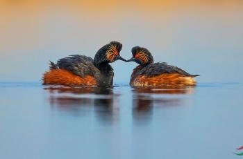 《亲昵》-----黑颈鸊鹈(祝贺荣获首页鸟类精华)
