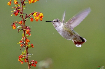 《蜂鸟探花》--- 祝贺荣获鸟网首页精华!