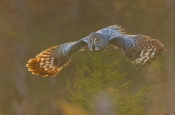 逆光版——乌林鸮