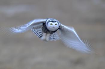 雪鸮(祝贺荣获首页鸟类精华)