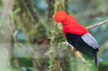 2019年11月12日 厄瓜多尔拍鸟活动12天