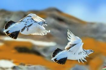 岩雷鸟(热烈祝贺获得鸟网每日一图)