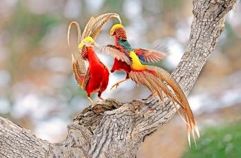 红腹锦鸡--鏖战