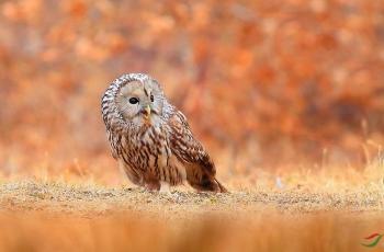 《长尾林鸮——唱秋》
