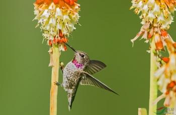 戴着漂亮的红围脖--安娜蜂鸟
