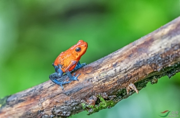 草莓箭毒蛙(祝贺首页精华!)