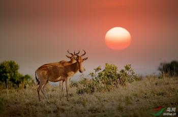 夕阳下的转角牛羚