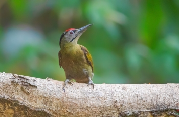 灰头绿啄木鸟和邻居们(祝贺佳作获视频首页精华!)