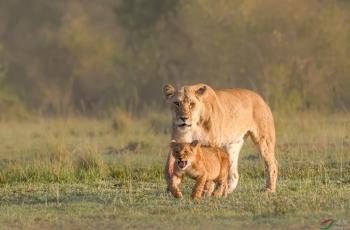 有狮妈在的小狮子奶凶奶凶的(祝贺荣获首页动物精华)
