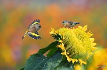 葵园里的金翅雀