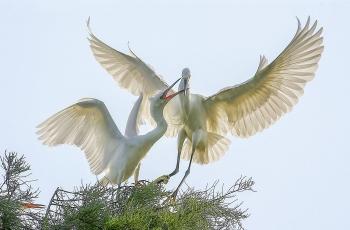 幼鹭乞食(祝贺荣获鸟类精华)