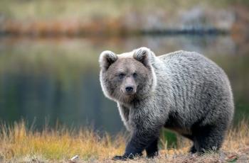 棕熊(祝贺荣获首页动物精华)