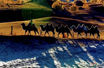坝上的骆驼