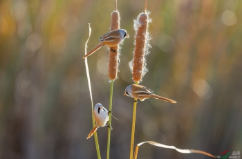 蒲棒上的精灵-文须雀