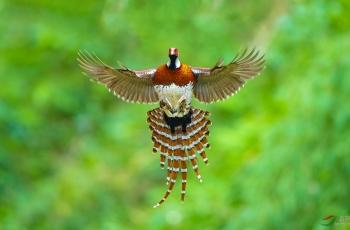 美丽的风筝(白颈长尾雉)