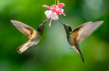 黄尾冕蜂鸟(给上海版助兴)荣获每日一图