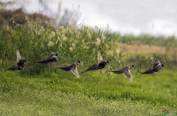 环颈雉起飞图