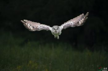 乌林鸮---祝贺荣获鸟网首页精华!