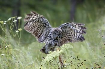 鸮(祝贺获首页精华)