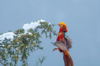《寻觅》------红腹锦鸡(祝贺荣获首页鸟类精华)