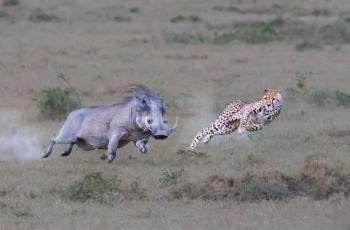 猎豹战犹猪