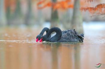 池杉湖里的黑天鹅