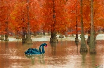 大美池杉湖