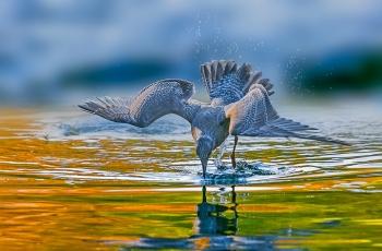捞鱼子的海鸥