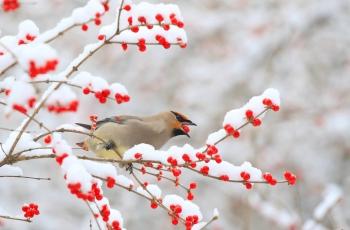 红豆.白雪.太平鸟.(祝贺荣获首页鸟类精华)
