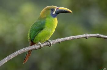 蓝喉巨嘴鸟 (Blue-throated toucanet) @哥斯达黎加------贺荣获首页精华