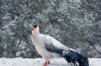 雪中的白马鸡------贺荣获首页精华