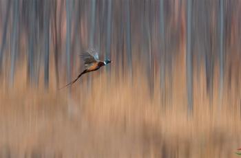丛林飞凤凰
