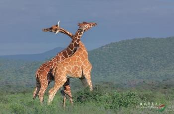 2020狂野肯尼亚野生动物摄影团-美国国家地理摄影师带队