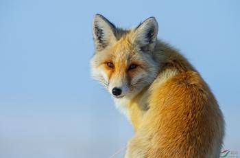 超近拍狐狸美姿
