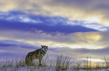 晨光中的狼