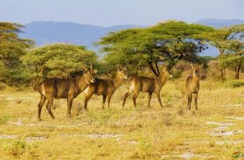 非洲草原——水羚羊