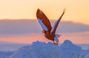 海雕展翅(祝贺荣获首页鸟类精华)
