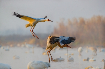 白鹤与天鹅(3)