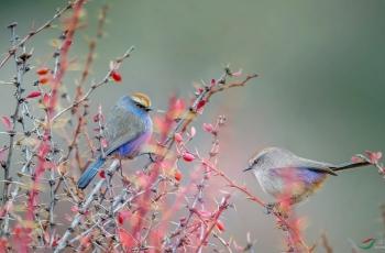 川西明星--花彩雀莺