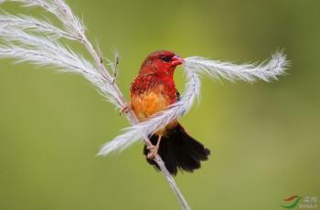 红梅花雀(祝贺荣获首页鸟类精华)