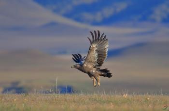 草上飞---草原雕(祝贺荣获首页鸟类精华)