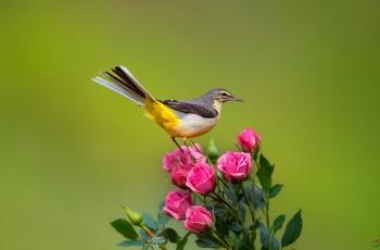爱花的黄鹡鸰鸟