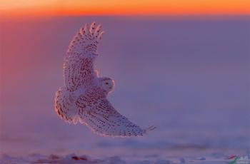 雪鸮(贺岁片)