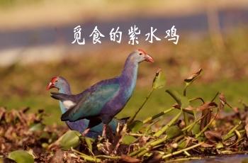 晨光中觅食的紫水鸡