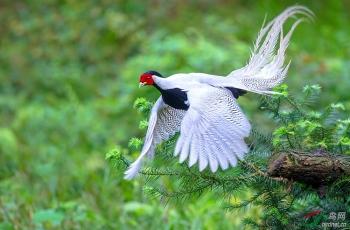 《天使下凡》—— 白鹇(祝贺荣获首页鸟类精华!)